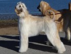 Two Grown Afghan Hounds