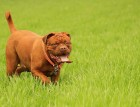 Adult Dogue De Bordeaux