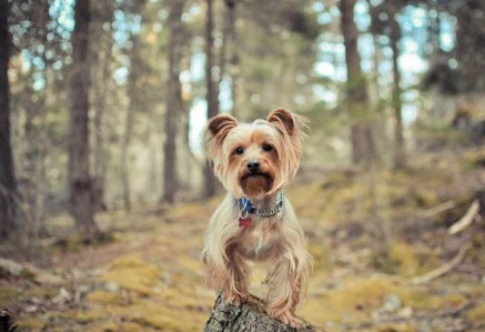 Adult Australian Terrier