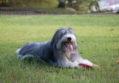 Adult Bearded Collie
