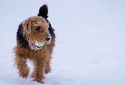 Welsh Terrier playing in snow