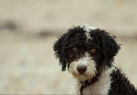 Wet Spanish Water Dog