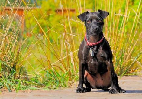 Adult Patterdale Terrier