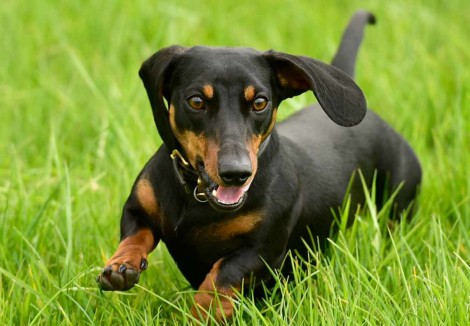 Miniature Dachshund Dog