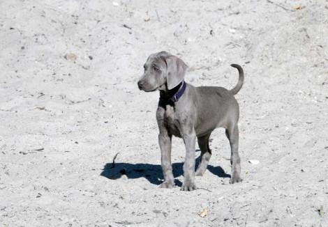 Puppy_Weimaraner_.jpg