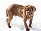 Young Neapolitan Mastiff