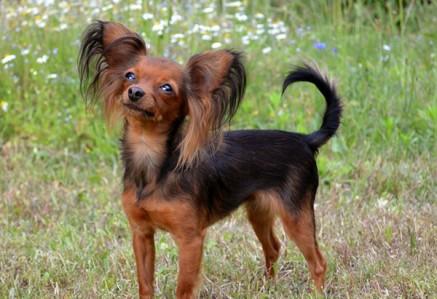 Russian-Toy-Terrier.jpg