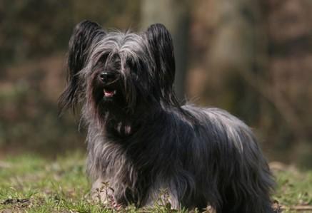 Skye-Terrier.jpg