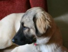 Young Turkish Kangal