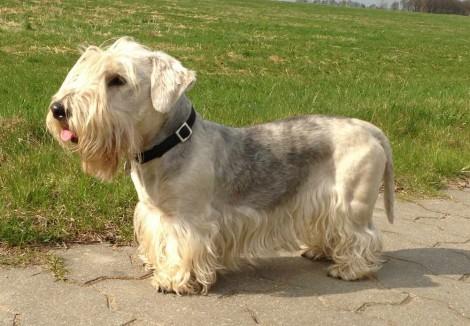 White Cesky Terrier
