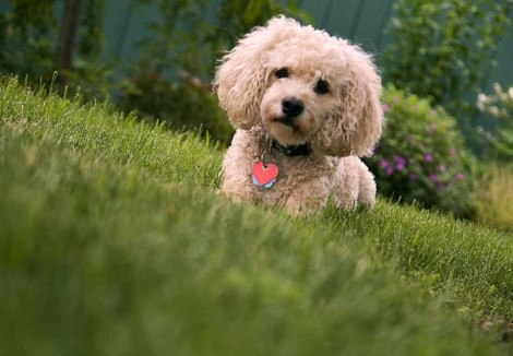 Adult Cockapoo