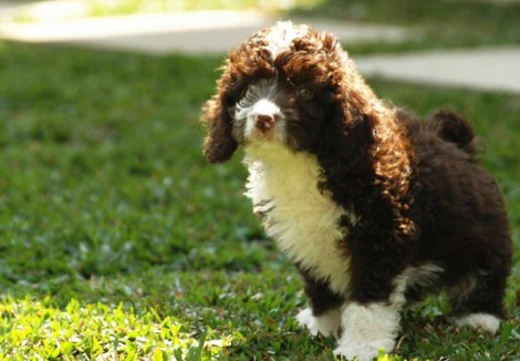 Spanish Water Dog Puppy
