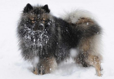 Keeshond Playing