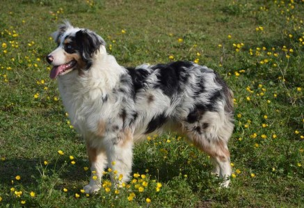 Australian Shepherd Working