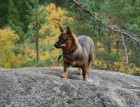Swedish Vallhund In Forest