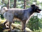 Pyrenean Sheepdog Dog