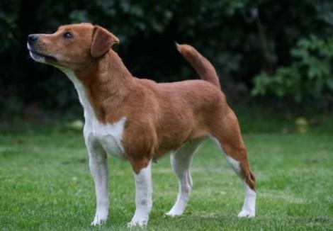 Young Plummer Terrier