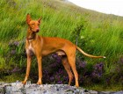 Adult Pharaoh Hound
