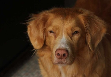 Nova Scotia Duck Tolling Retrievers Face