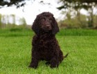 Irish Water Spaniel Puppy