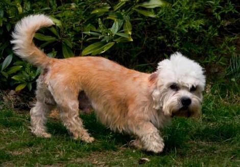 Dandie Dinmont Terrier Dog