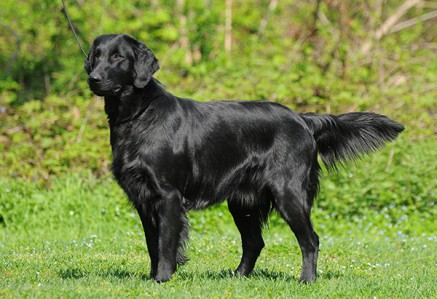 Flat-Coated-Retriever.jpg