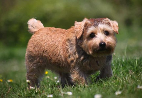 Young Norfolk Terrier
