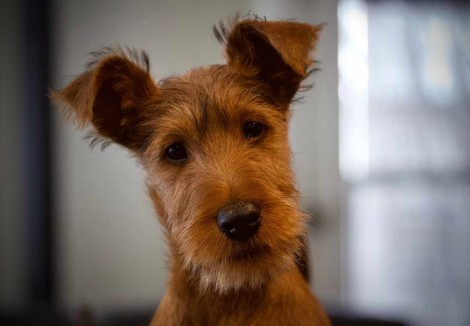 Irish Terrier Puppy