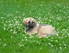 Turkish Kangal Puppy
