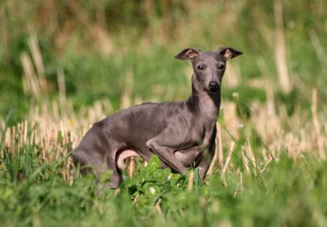 Adult Italian Greyhound
