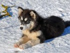 Young Greenland Dog