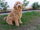 Adult Labradoodle