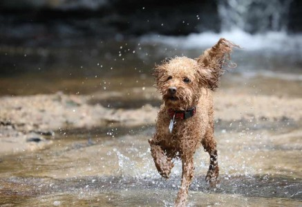 Wet Toy Poodle