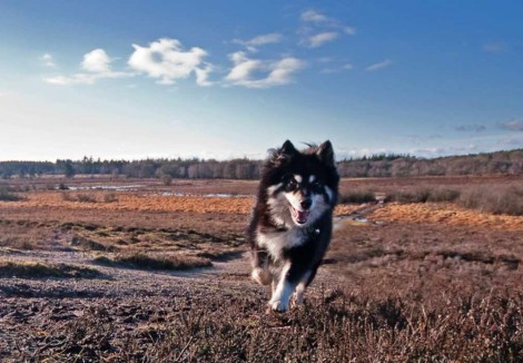 Adult Finnish Lapphund