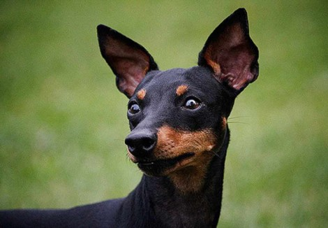 English Toy Terriers Face
