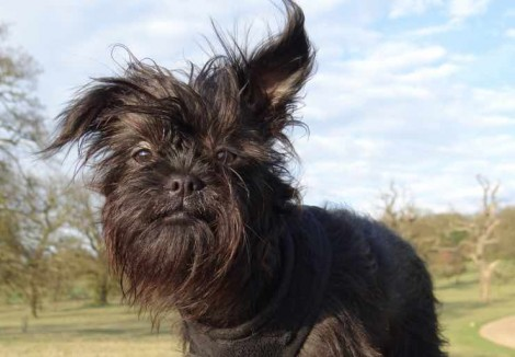 Affenpinscher in the park