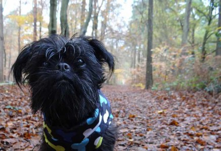 Affenpinscher walking