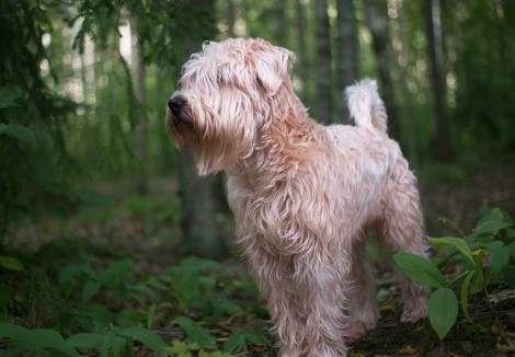 Young Soft Coated Wheaten Terrier