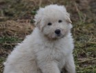 Komondor Puppy