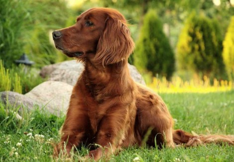 Irish Setters Face