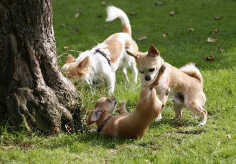Chihuahuas Playing