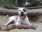 White American Bulldog Playing With Stick