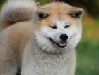 Japanese Akita Inu Face
