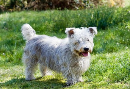 Adult Glen of Imaal Terrier
