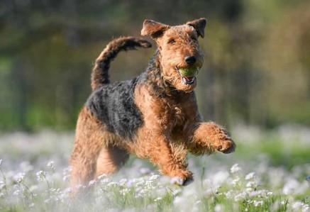 Airedale Terrier Playing