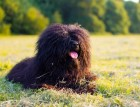 Adult Hungarian Puli
