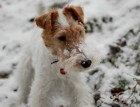 Fox Terriers Face