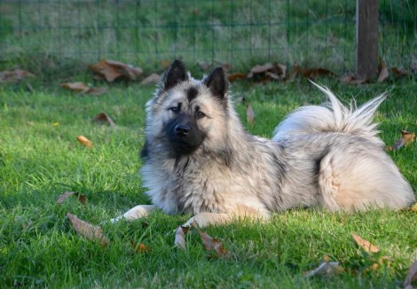 Adult Eurasier