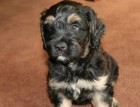 Portuguese Sheepdog Puppy