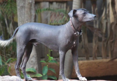 Adult Mexican Hairless